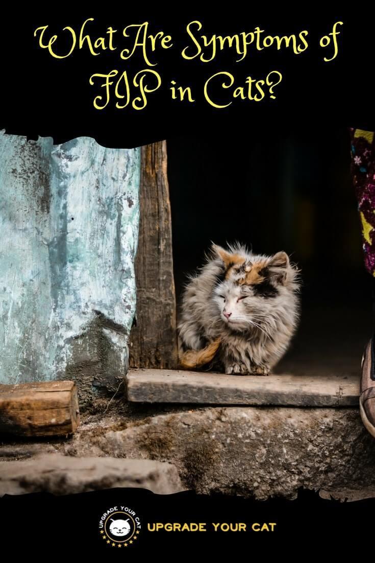 javanese cat for sale